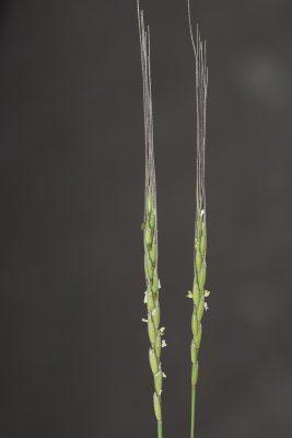 בן-חיטה דו-קרני Aegilops bicornis (Forssk.) Jaub. & Spach
