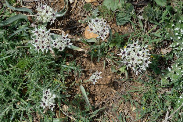 Allium meronense Fragman & R.M.Fritsch