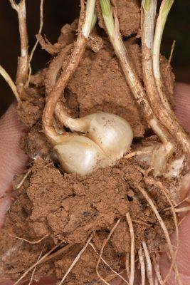 שום הסלעים Allium rupicola Mouterde