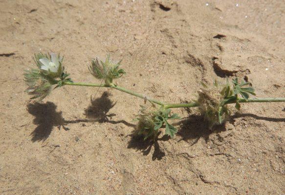 נטופית המדבר Althaea ludwigii L.