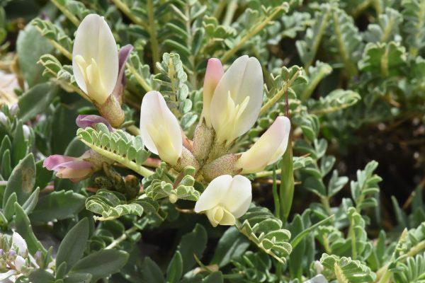 Astragalus angustifolius Lam.