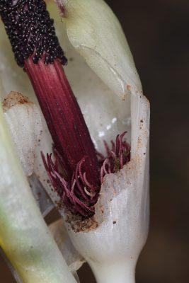 Biarum bovei Blume