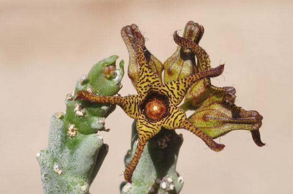 אצבוע מגובשש Caralluma tuberculata N.E.Br.