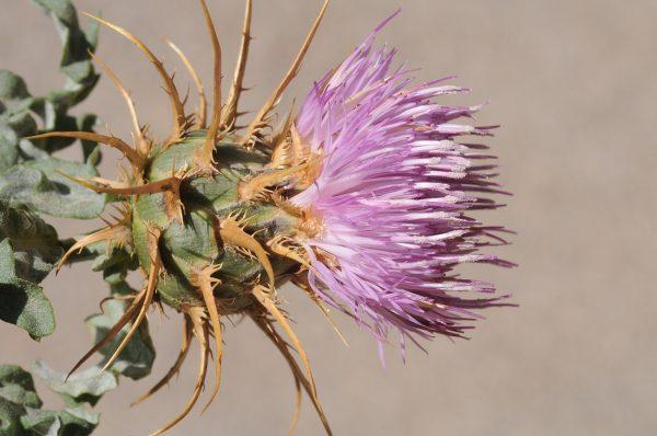 דרדר נאה Centaurea speciosa Boiss.
