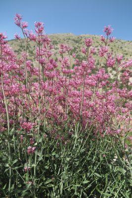 חד-אבקן ארוך-פרחים Centranthus longiflorus Steven