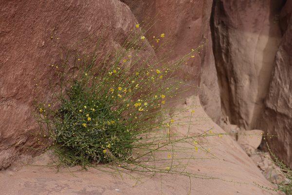 Verbascum decaisneanum Kuntze