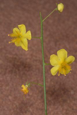 בוצין קטן-פרחים Verbascum decaisneanum Kuntze