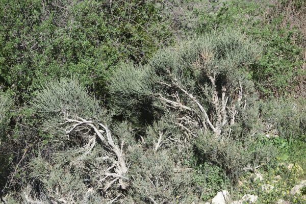 שרביטן גס Ephedra pachyclada Boiss.