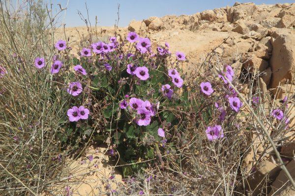 מקור-חסידה מעוצה Erodium arborescens (Desf.) Willd.