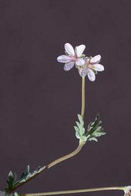 מקור-חסידה מפוצל Erodium laciniatum (Cav.) Willd.