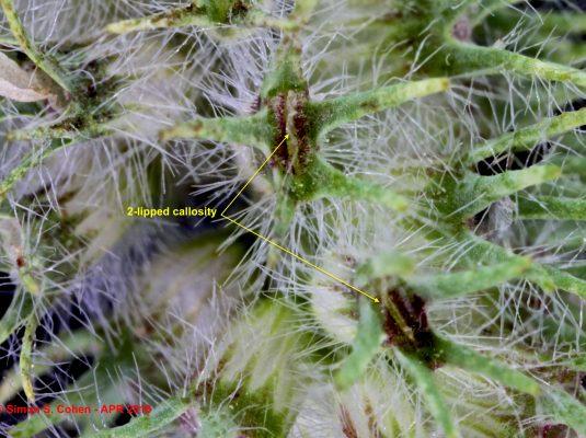 תלתן היערות Trifolium sylvaticum Gerard