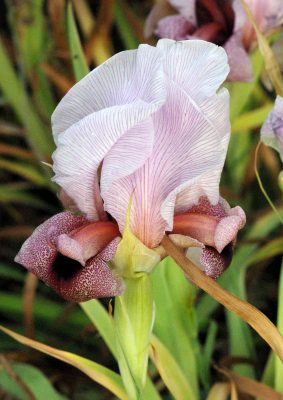 Iris lortetii Barbey