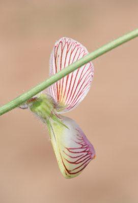 Onobrychis wettsteinii Nabelek