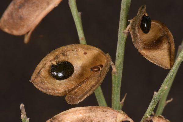Gonocytisus pterocladus (Boiss.) Spach