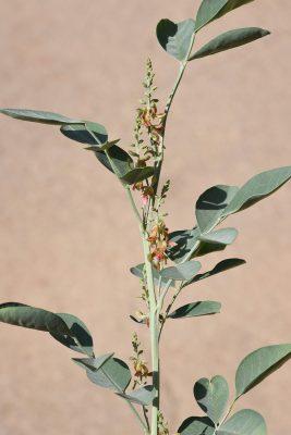 ניל מכסיף Indigofera articulata Gouan