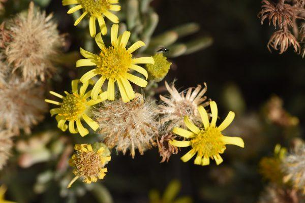Limbarda crithmoides (L.) Dumort.
