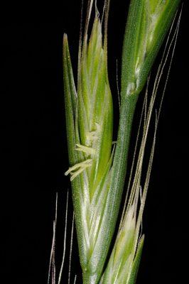 Lolium persicum Boiss. & Hohen. ex Boiss.