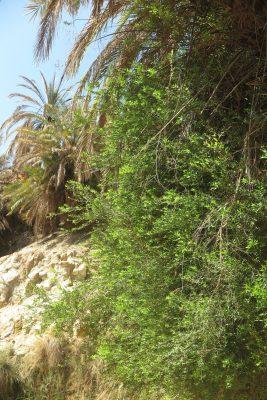 הדס מצוי Myrtus communis L.