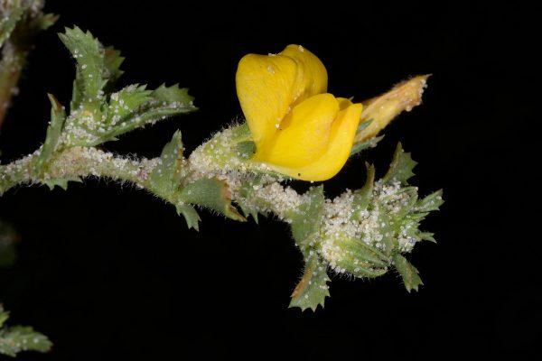 שברק ססגוני Ononis variegata L.