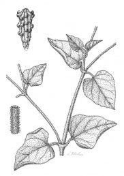 הצמח בלוטי ומאד דביק