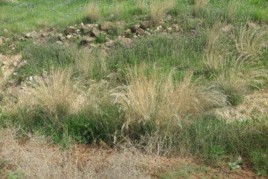 צמח עשבוני רב-שנתי
