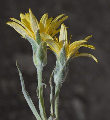 הרדופנין אדומי Scorzonera schweinfurthii Boiss.