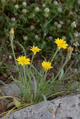 הרדופנין סורי Scorzonera syriaca Boiss. & Blanche