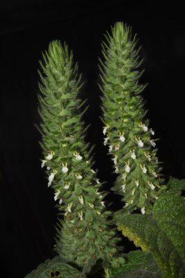 געדת החורש Teucrium lamiifolium D'Urv.
