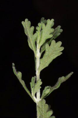 Teucrium leucocladum Boiss.