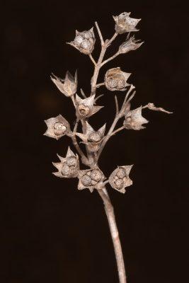 Teucrium orientale L.