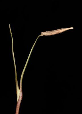 Tragopogon buphthalmoides (DC.) Boiss.