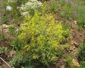 בשיא הפריחה הצמח מכוסה בהרבה פרחים צהובים קטנטנים