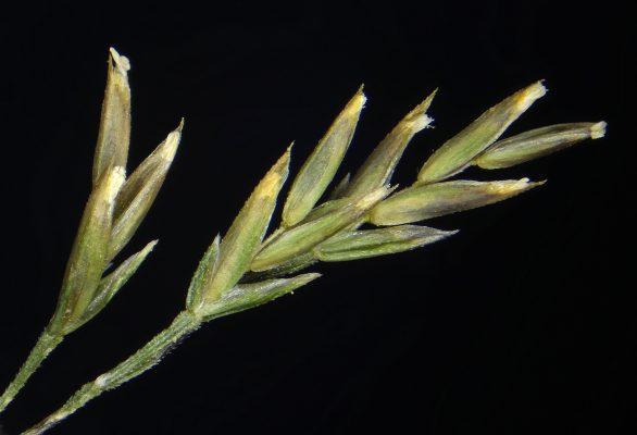 בת-סיסנית הררית Eremopoa songarica (Schrenk) Roshev.