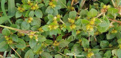 צמח שרוע, הגבעולים שעירים, העלים ביצניים