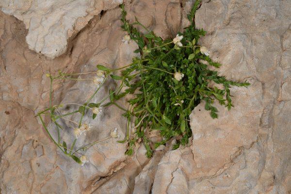 ארנריית הלבנון Arenaria libanotica Kotschy