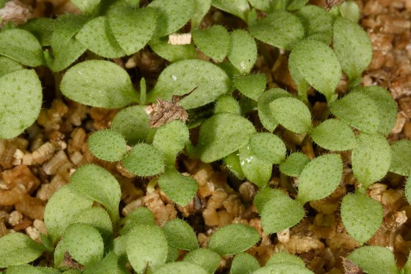 לפית חסרת-עוקץ Lappula sessiliflora (Boiss.) Guerke