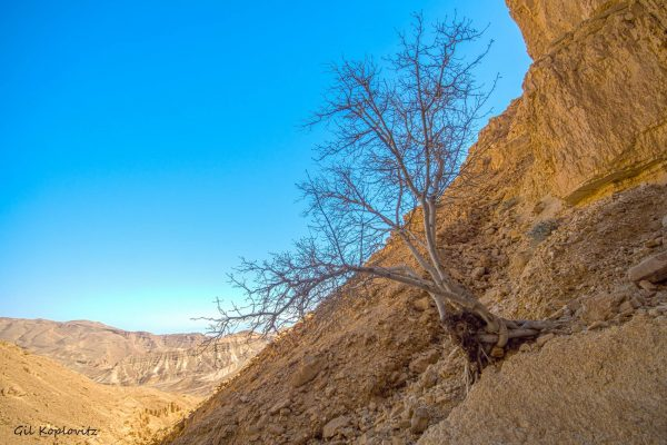 Ficus palmata Forssk.