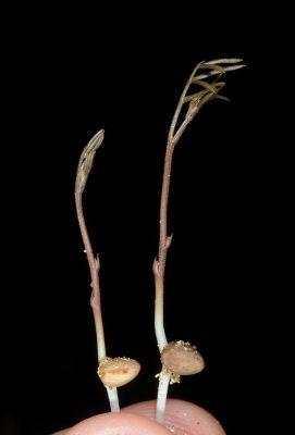 Vicia articulata Hornem