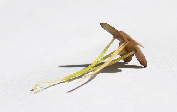 אגמית רבת-שורשים Spirodela polyrhiza (L.) Schleiden