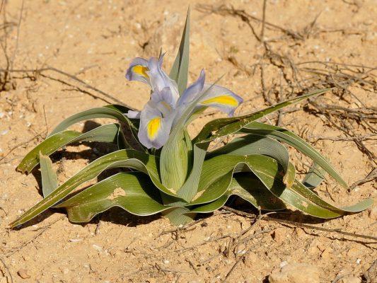 אירוס טוביה Iris regis-uzziae Feinbrun