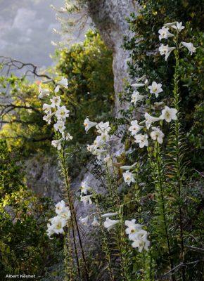 שושן צחור Lilium candidum L.