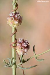 צמח של חגורת הצומח הכרקוצי, לפרח שני צלקות מוארכות ויושבות