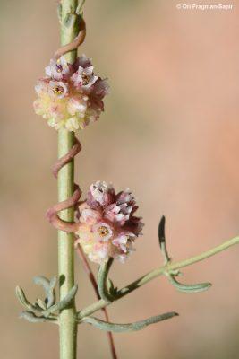 כשות קוטשי Cuscuta kotschyana Boiss.
