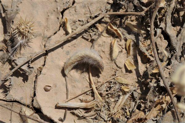 קדד משייני Astragalus bombycinus Boiss.