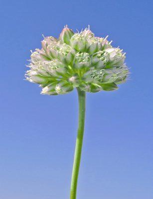 Allium calyptratum Boiss.