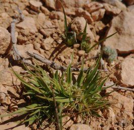 צמח חד-שנתי קטן, התפרחות יושבות, מוצנעות בין העלים