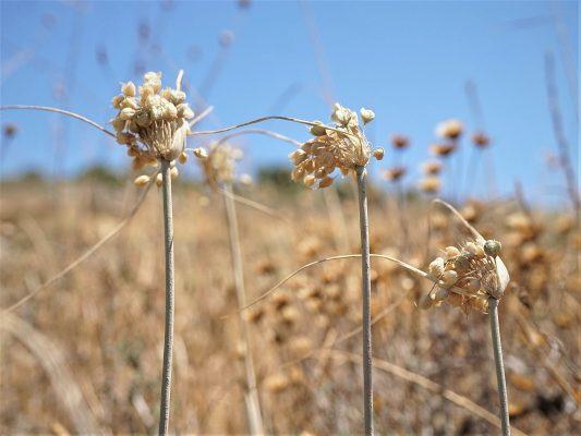 שום לבן-קליפות Allium albotunicatum O.Schwarz
