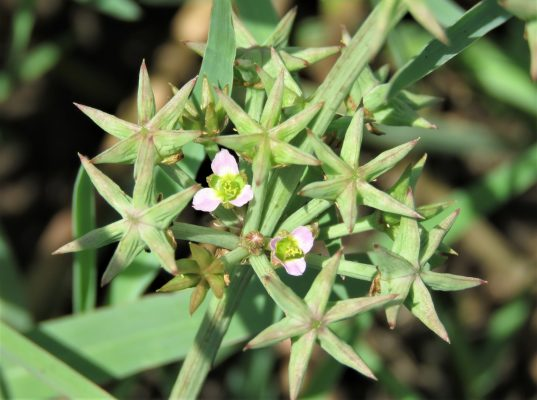 דמסון כוכבני Damasonium alisma Mill.