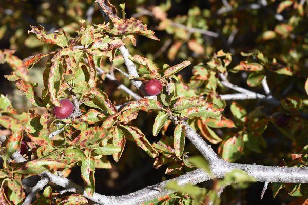 שזיף הדובדבן Prunus cerasifera Ehrh.