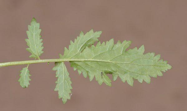 לוענית הנבטים Scrophularia nabataeorum Eig